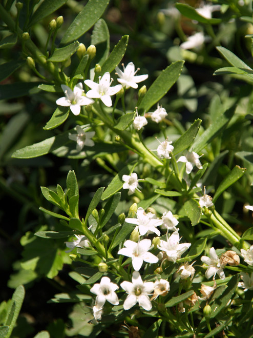 Myoporum p. 'Putah Creek' 1g