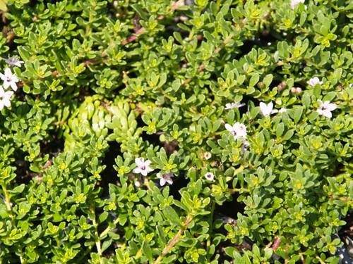 Myoporum parvifolium 'Pink' 1g