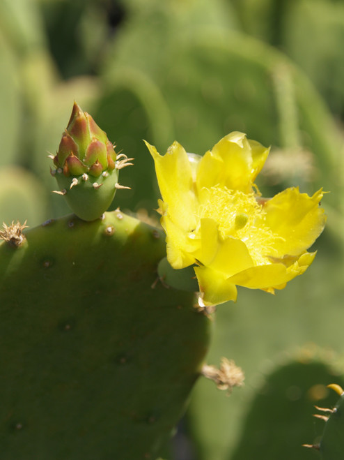 Opuntia cacanapa 'Ellisiana' 5g