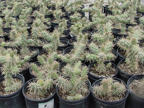 Opuntia prolifera 1g