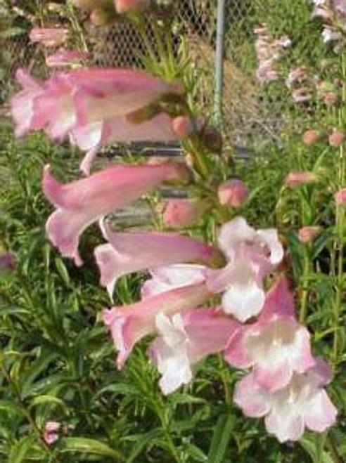 Penstemon 'Apple Blossom' 1g