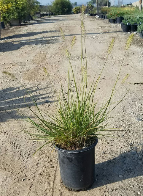Pennisetum alopecuroides 'Hameln' 1g