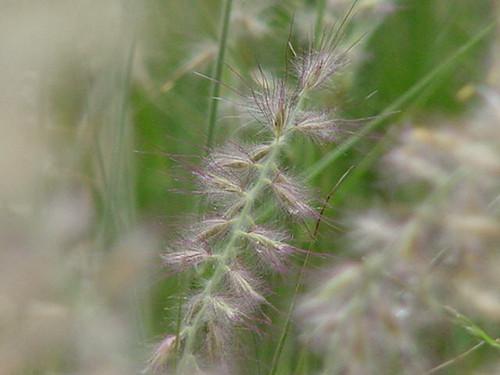 Pennisetum orientale 1g