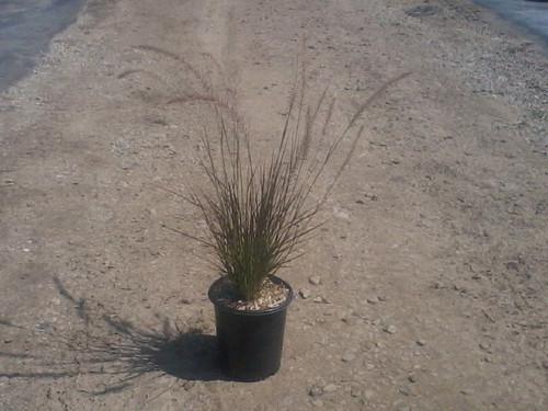Pennisetum setaceum 'Eaton Canyon' 1g