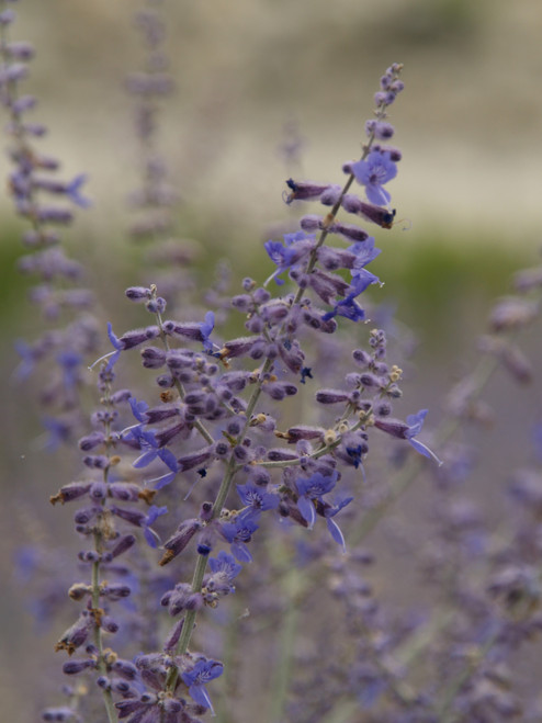 Perovskia atriplicifolia 'Blue Spire' 1g