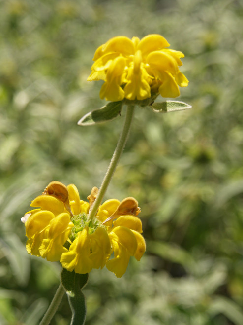 Phlomis fruticosa 5g