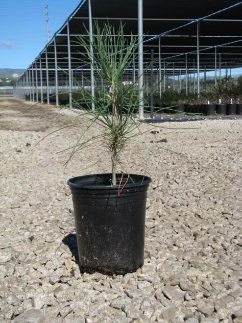 Pinus torreyana 1g