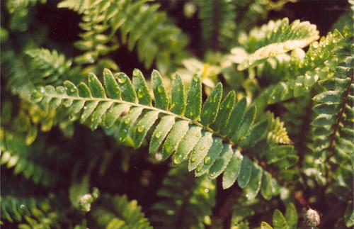 Polystichum munitum 5g
