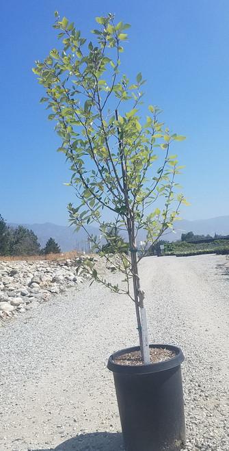 Populus b. trichocarpa 15g