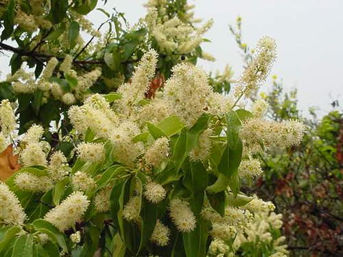 Prunus lyonii 1g