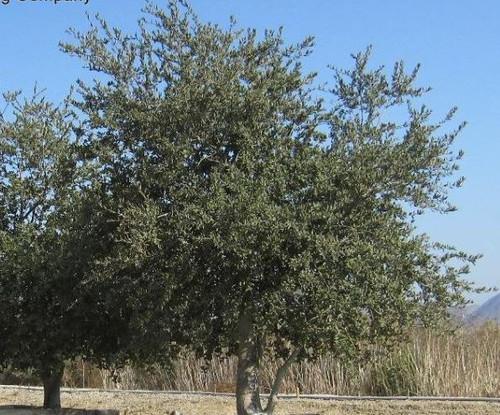 Quercus agrifolia 5g