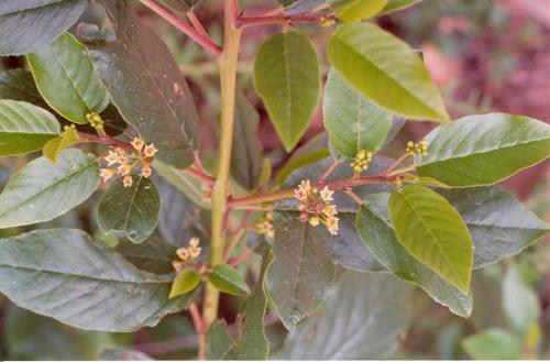 Rhamnus californica (Frangula) 1g
