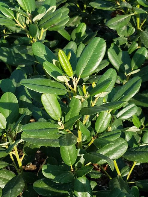 Rhamnus californica 'Leatherleaf' (Frangula) 1g