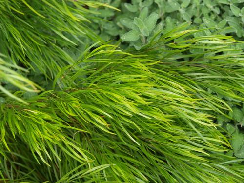 Acacia cognata Cousin Itt PPAF 5g