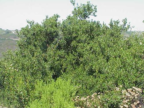 Rhus integrifolia 1g