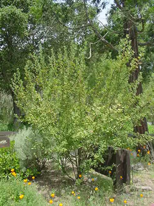 Ribes indecorum 1g