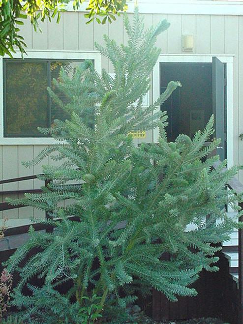 Acacia covenyi 15g