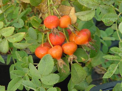 Rosa californica 5g
