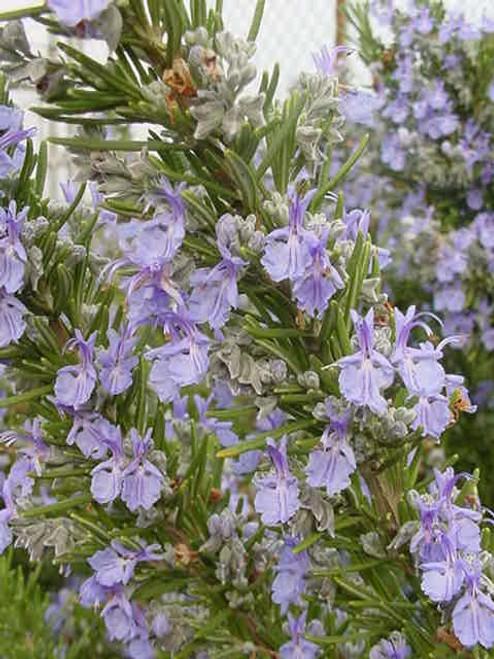 Rosmarinus officinalis 'Tuscan Blue' 1g