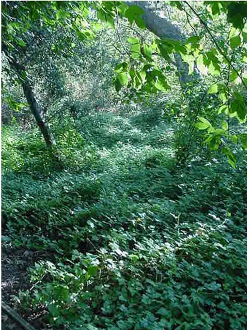 Rubus ursinus 1g