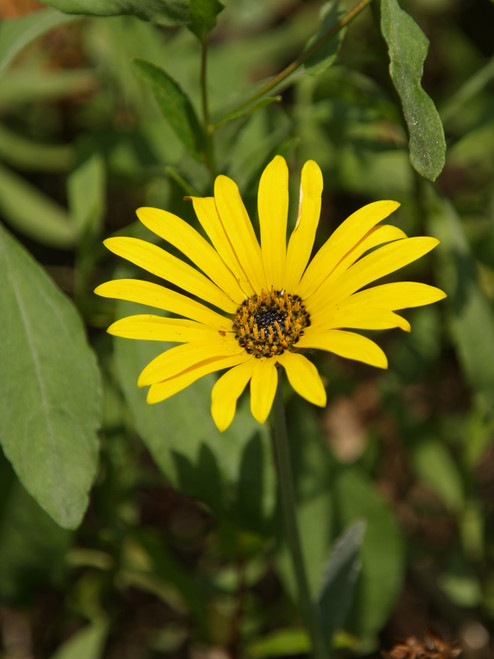 "Rudbeckia fulgida 'Viette's Little Suzy' ( PP 8,867) 4"""