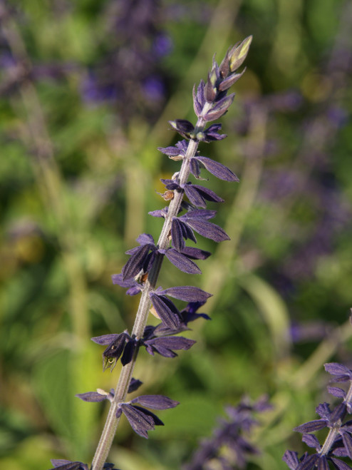 Salvia 'Anthony Parker' 1g