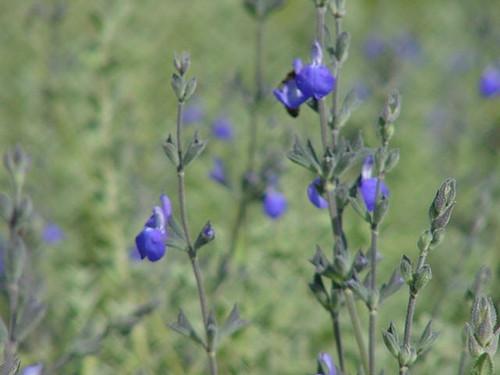Salvia chamaedryoides 1g