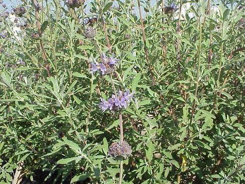Salvia clevelandii 1g