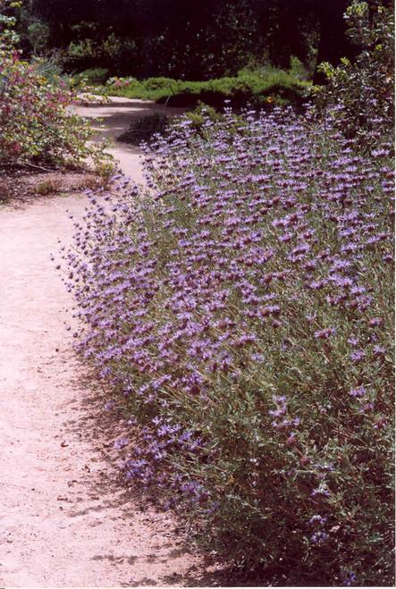 Salvia 'Aromas' 1g