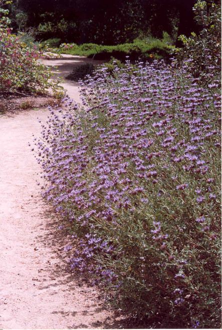 Salvia 'Aromas' 5g
