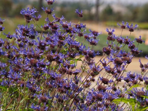 Salvia clevelandii 'Winifred Gilman' 1g