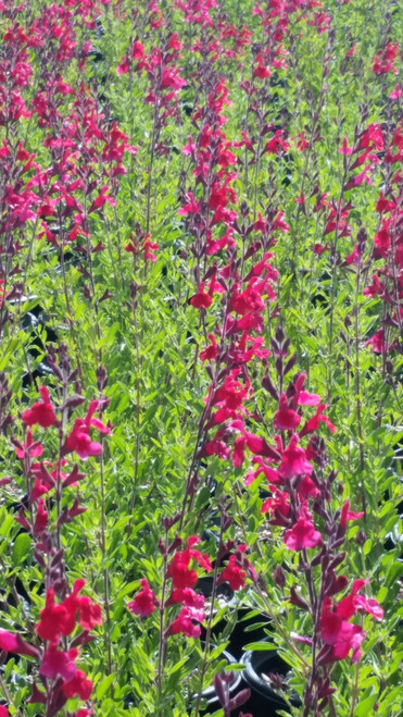 Salvia greggii 'Furman's Red' 1g