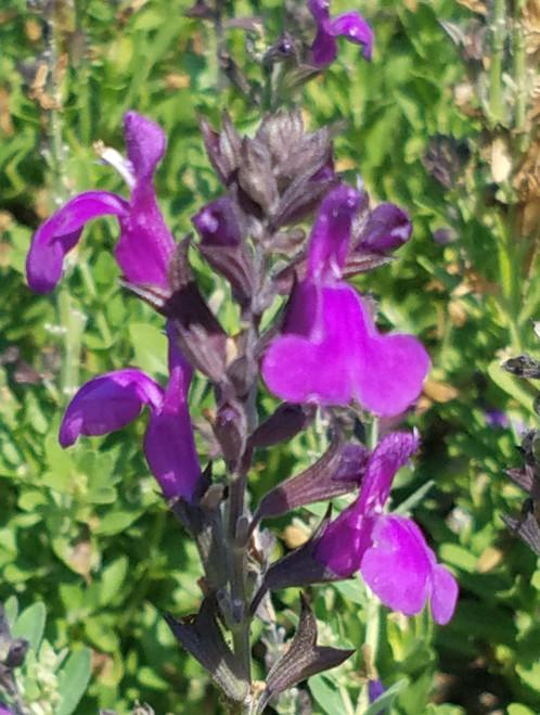 Salvia greggii 'Balmirdepur' Mirage™ Deep Purple PPAF 1g