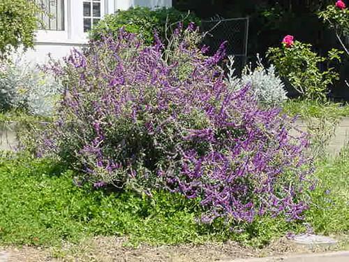 Salvia leucantha 1g