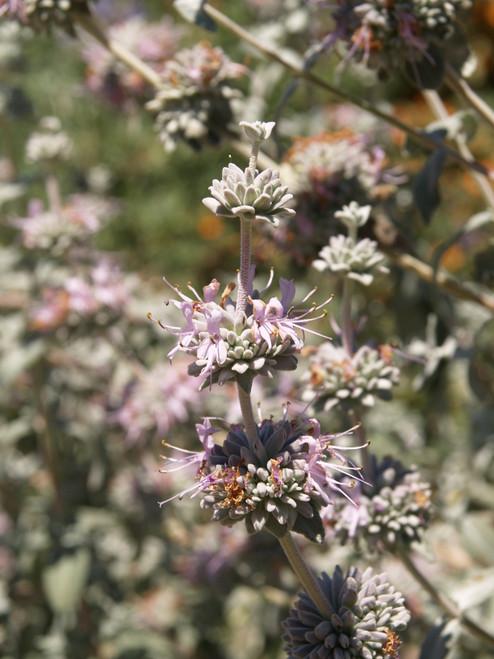 Salvia leucophylla 1g