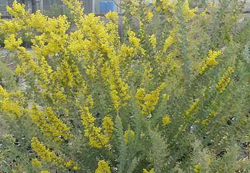 Acacia cultriformis 1g