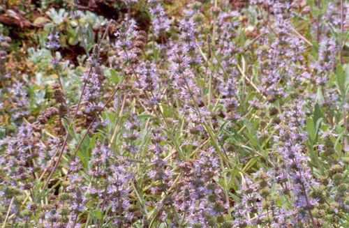 Salvia 'Mrs. Beard' 1g