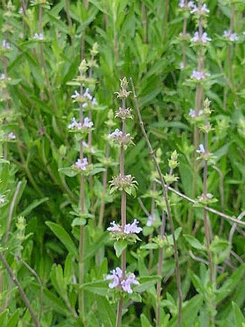 Salvia mellifera 1g