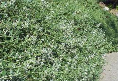 Salvia mellifera 'Terra Seca' 1g