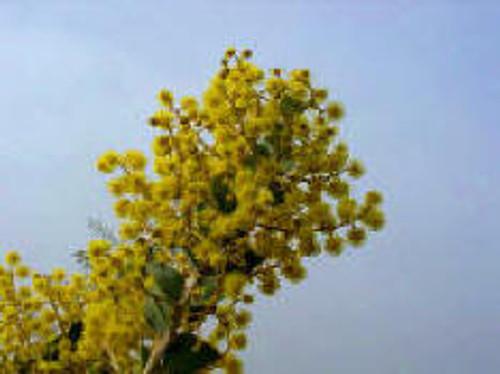 Acacia cultriformis 24B