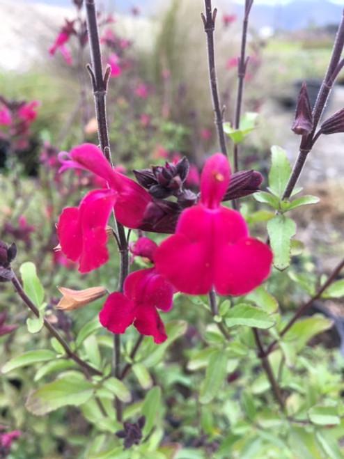 Salvia microphylla x Heatwave™ Blaze (PP24,131) 1g