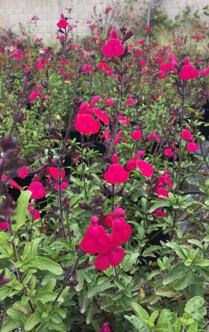 Salvia microphylla x Heatwave™ Brilliance (PP25,606) 1g