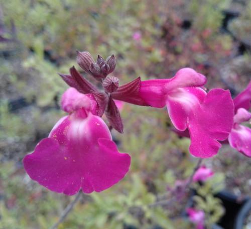 Salvia microphylla x Heatwave™ Sparkle (PP24,154) 1g