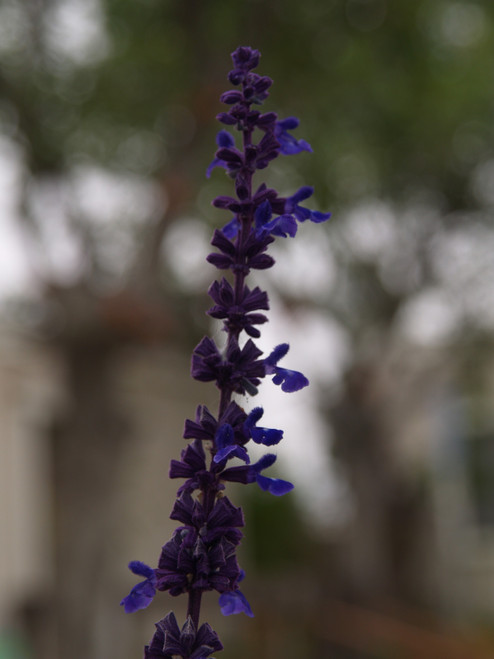 Salvia 'Mystic Spires' 1g