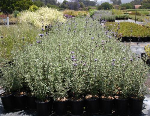 Salvia 'Pozo Blue' 1g