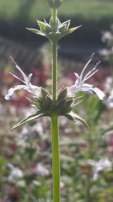 Salvia 'Starlight' 1g