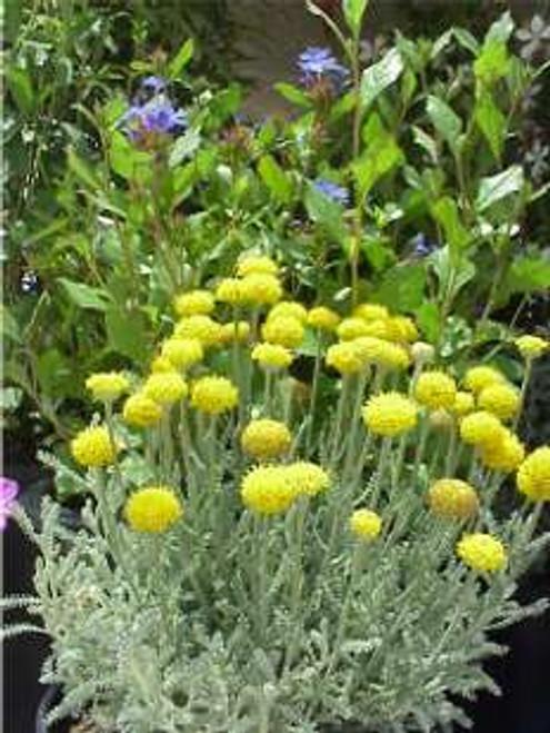 Santolina chamaecyparissus 1g