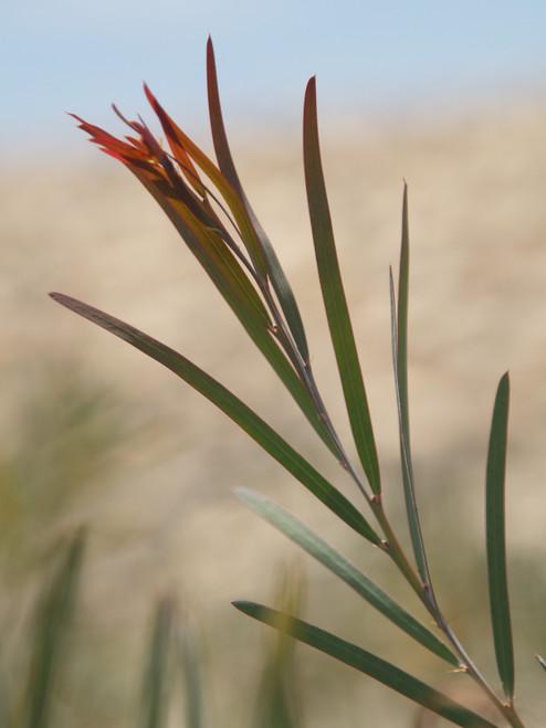 Acacia iteaphylla 24B