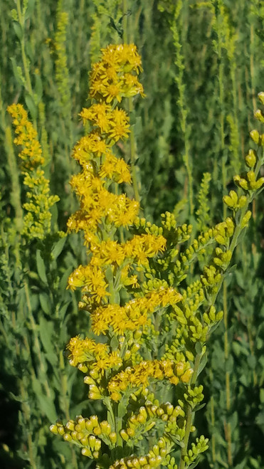 Solidago californica 1g