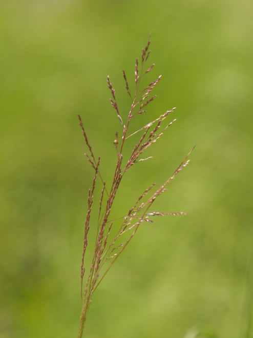 Sporobolus airoides 1g